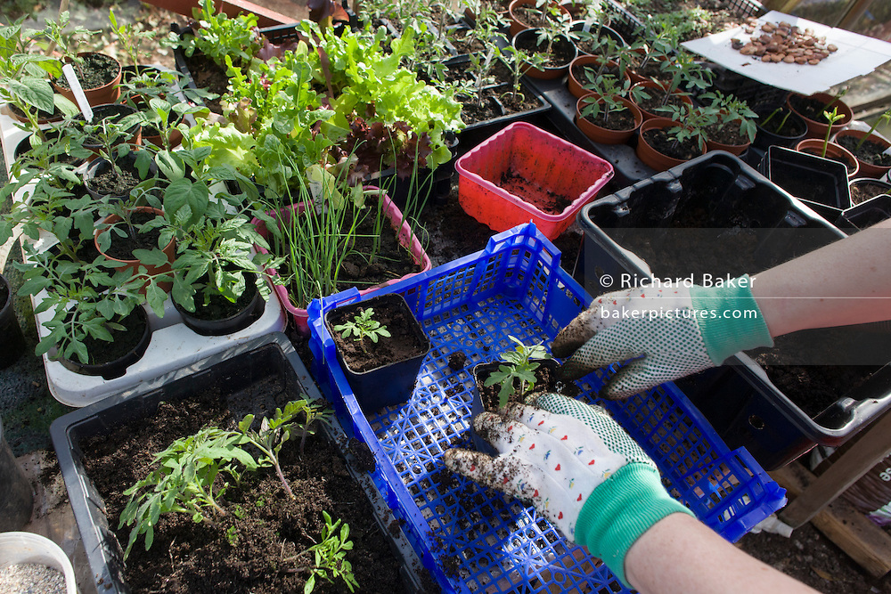 A pair of gloved hands in a greenhouse potting shed on a north Somerset farmstead.