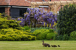 A mallard and her ducklings pass one of the stunning examples of wisteria at Wickham Park Farm, Essex. No longer open to the public, the spectacular gardens are the work of dedicated gardener Judith Wilson, who has tended her wisteria and encouraged its growth for over thirty years. May 13 2018.