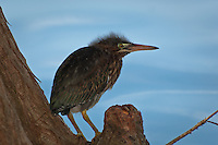 A fuzzy-headed juvenile green heron on the edge of a Tallahassee, Florida lake.