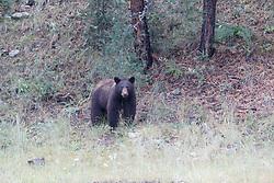 Black bear boar, Vermejo Park Ranch, New Mexico, USA.