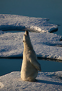 Nanuk: Polar Bear, Ursus Maritimus seen from the deck of the Arctic Sunrise in Kane Basin, North west Greenland.  The bear's curiosity drew the ship while it was stationary, in sea ice, just after midnight on Sunday morning 2 August 2009.  It came very close to the ship, and even looked like it thought about trying to scale the side of the vessel, before playfully rolling about on the ice.This was fifth of six polar bears seen by the crew during the trip.