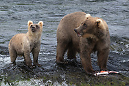 Bear 128 stands on the lip of Brooks Falls with a salmon, as the smallest of her cubs stands next to her.