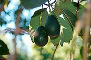 Israel, Sharon district, Avocado plantation Ripe fruit on the tree before harvest Winter January 2008