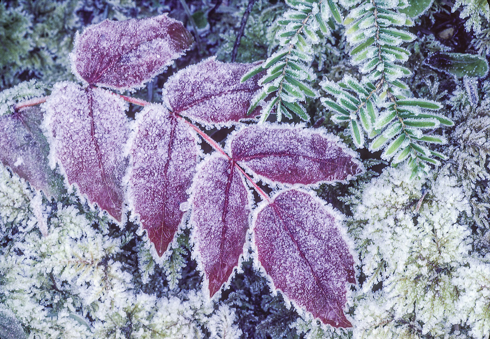 Oregon grape leaves and hemlock needles with frost, January, Elwha River Valley, Olympic National Park, Washington, USA