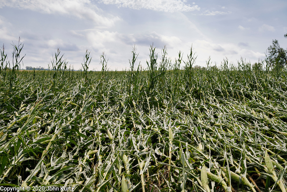 """12 AUGUST 2020 - SLATER, IOWA: A corn field with flattened corn after a derecho storm passed through central Iowa. According to Iowa Governor Kim Reynolds, the storm damaged 10 million acres of corn and soybeans in Iowa, about 1 one-third of Iowa's 32 million acres of agricultural land. Justin Glisan, Iowa's state meteorologist, said the storm Monday, Aug. 10, lasted 14 hours and traveled 770 miles through the Midwest before losing strength in Ohio. The storm was a seldom seen """"derecho"""" that packed straight line winds of nearly 100MPH. The storm pummelled Midwestern states from Nebraska to Ohio.     PHOTO BY JACK KURTZ"""