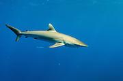Silky Shark (Carcharhinus falciformis)<br /> Jardines de la Reina National Park<br /> CUBA