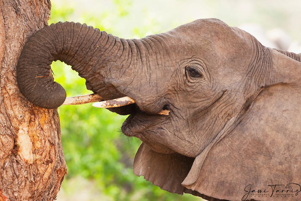 A desert-dwelling elephant (Loxodonta africana) pulling bark from a tree, Skeleton Coast, Namibia,Africa