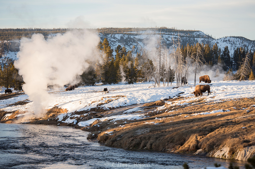 Bison grazing among steam vents along Firehole River, Yellowstone National Park