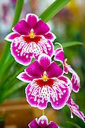 Orchid, Akatsuka Orchid Gradens, Hilo, Island of Hawaii