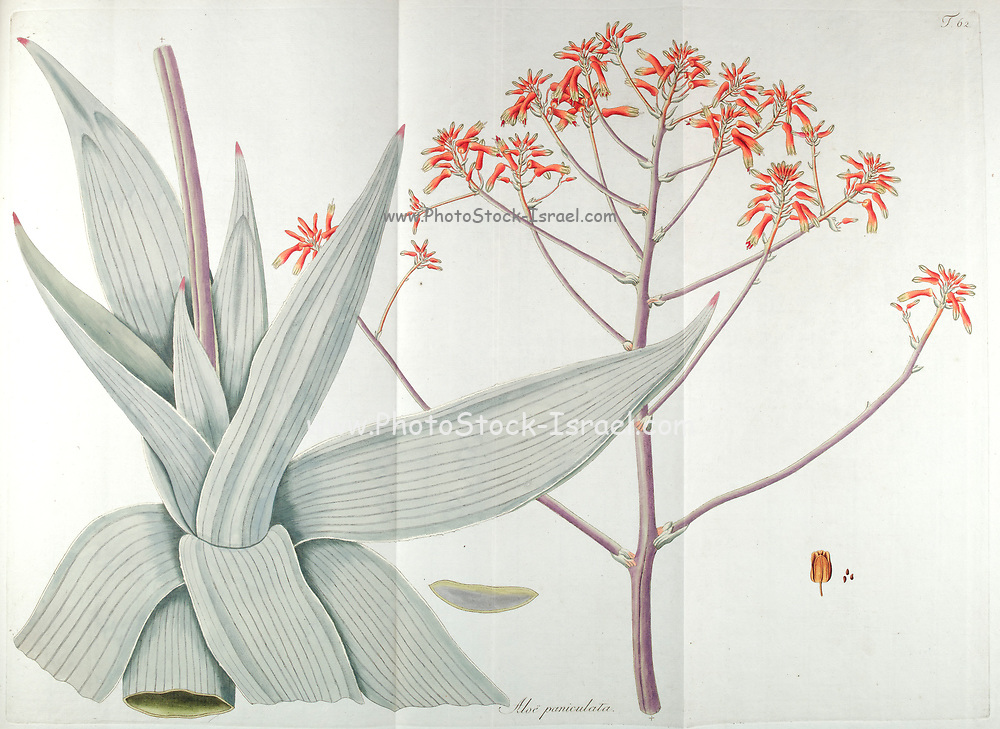 Hand painted botanical study of an Aloe paniculata (Coral aloe) plant anatomy from Fragmenta Botanica by Nikolaus Joseph Freiherr von Jacquin or Baron Nikolaus von Jacquin (printed in Vienna in 1809)