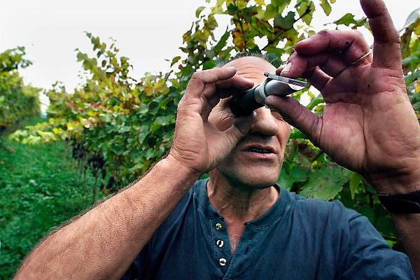 Nederland, Groesbeek, 4-10-2005..Druivenoogst biologische wijnhoeve de Colonjes...Wijnboer Verhoeven meet het suikergehalte van de vrucht. Hij is een enthousiast stimulator van de druiventeelt. De grond in Groesbeek bevat löss, een uitstekende bodem voor wijnbouw...Het dorp zet zich op de kaart als wijncentrum. Totaal is er zo,n 10 hectare in productie. Wijnhoeve de Colonjes is met 5 hect. de grootste, en verwacht dit jaar 8000 liter te produceren. Bij de nationale wijnkeuring gisteren 9-10-2006 behaalde zijn wijnen drie bronzen medailles...Foto: Flip Franssen