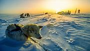 Midnight sun, dog sledging and skiing across Greenland icecap, Arctic