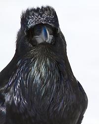 Raven portrait, Grand Teton National Park