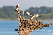 00783-02013 Osprey (Pandion haliaetus) landing at nest with fish Rend Lake Jefferson Co. IL