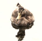 Blydenburgh Park-Duck