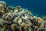 Lettuce or cabbage coral (Turbinaria sp)<br /> Raja Ampat<br /> Indonesia