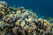 Lettuce or cabbage coral (Turbinaria sp)<br /> Raja Ampat<br /> Indonesia
