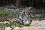 A pair of mating jaguars, Panthera onca, fighting.