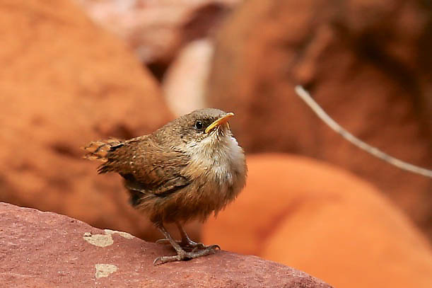 Little feathered friend, possibly a Canyon Wren or Pacific Wren, greeting passersby on Mother's Day hike from Phantom Ranch to Ribbon Falls. Photo taken May 8, 2016.