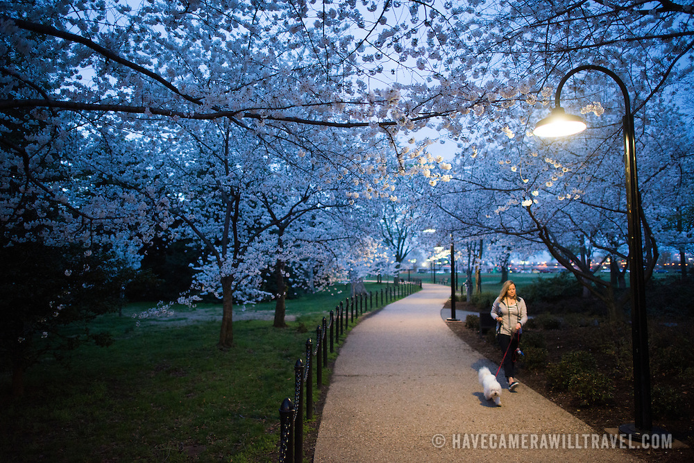 A woman walks her dog along a pathway under the blooming cherry blossoms next to the Tidal Basin in Washington DC.