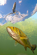 Largemouth Bass chasing lure<br /> <br /> Engbretson Underwater Photography