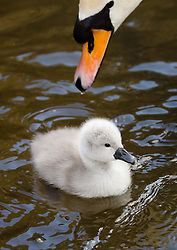 © Licensed to London News Pictures. 06/04/2016. London, UK. A two day old cygnet goes for a swim with its swan parents during sunny spring weather in Wapping, east London.  The cygnet is one of the first to hatch in London this year. Photo credit : Vickie Flores/LNP