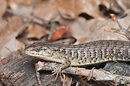 Northern Alligator Lizard, Elgaria coerulea