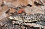 Alligator Lizard, Elgaria sp.