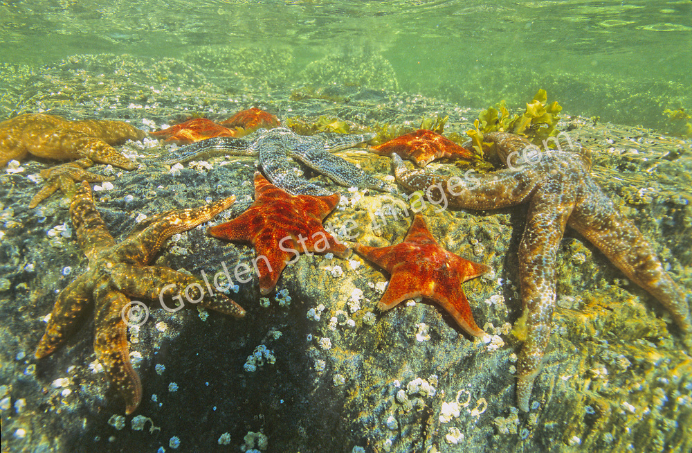 Although taken in British Columbia this is representative of what could be seen in any healthy tidepool from the California coast north to Alaska.