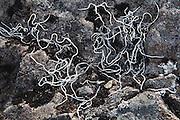 Filamentous lichen on a rock in the Chugach Mountains near Columbia Glacier, Alaska.