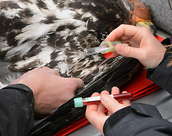 Steve Lewis, Raptor Management Coordinator, U.S. Fish & Wildlife Service takes blood samples from a bald eagle (Haliaeetus leucocephalus) captured in the Alaska Chilkat Bald Eagle Preserve. Assisting Lewis is Rachel Wheat, a graduate student at the University of California Santa Cruz. Blood samples are taken of the eagles to study for various things including chemical contaminants such as mercury. Wheat is conducting a bald eagle migration study of eagles that visit the Chilkat River for her doctoral dissertation. She hopes to learn how closely eagles track salmon availability across time and space. The bald eagles are being tracked using solar-powered GPS satellite transmitters (also known as a PTT - platform transmitter terminal) that attach to the backs of the eagles using a lightweight harness. The latest location of this eagle can be found here: http://www.ecologyalaska.com/eagle-tracker/4p/ . During late fall, bald eagles congregate along the Chilkat River to feed on salmon. This gathering of bald eagles in the Alaska Chilkat Bald Eagle Preserve is believed to be one of the largest gatherings of bald eagles in the world.