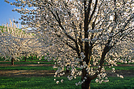 Almond Trees Blossom is spring in the Central Valley near Patterson, California