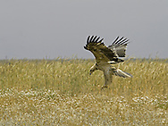 Spanish Imperial Eagle - Aquila adalberti -  3th calendar year