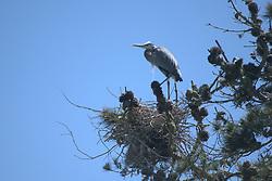 Great Blue Heron (Ardea herodias), Golden Gate Park, San Francisco, California, US