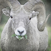 Bighorn sheep grazing on foliage at Glacier National Park in northwest Montana.  Pen and ink and watercolor effects blended with original photo.