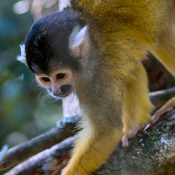 Macaco-de-cheiro (Saimiri boliviensis) fotografado na África do Sul. Registro feito em 2019.<br /> ⠀<br /> ⠀<br /> <br /> <br /> <br /> <br /> <br /> ENGLISH: Black-capped squirrel monkey photographed in South Africa. Picture made in 2019.
