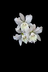Cattleya, white #11