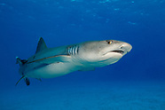 Triaenodon obesus (Whitetip Reef Shark)