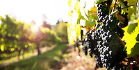 The french-American hybrid wine grape Leon Millot ripens to a dark purple.