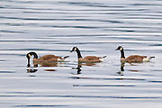 Three Canada geese (Branta canadensis) swim in Hood Canal near Seabeck, Washington.