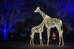 """© Licensed to London News Pictures. 22/11/2018. LONDON, UK. A staff member poses with illuminated giraffes. Preview of the first """"Christmas at London Zoo"""", a festive transformation at ZSL London Zoo which features a one-mile illuminated pathway in a magical after-dark experience.  Historic buildings have been transformed for the event, with glowing fountains lighting the Grade I listed Lubetkin Penguin Pool and festive projections lighting up the historic Mappin Terraces.  The show runs 22 November to 1 January 2019.  Photo credit: Stephen Chung/LNP"""