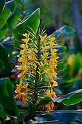 Kahili Ginger flower, Kilauea Volcano, HVNP, Hawaii Volcanoes National Park, The Big Island of Hawaii