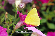 03091-00413 Cloudless Sulphur butterfly (Phoebis sennae) on Petunia sp. Marion Co. IL