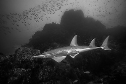 Equipped with ventrally-located mouth and gill openings, along with a sleek body and powerful tail, the cirtically endangered Giant Guitarfish, Rynchobatus djiddensis, is something of a missing link between sharks and rays. Richelieu Rock, Thailand, Andaman Sea