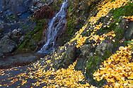 """A """"waterfall"""" of Ginkgo biloba leaves next to the waterfall at Queen Elizabeth Park's Quarry Gardens in Vancouver, British Columbia, Canada."""