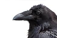A Common Raven (Corvus corax) on Hurricane Ridge, Olympic National Park.