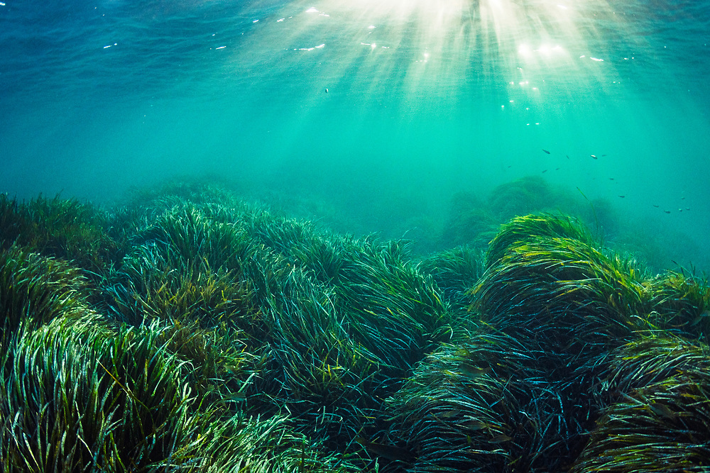 Neptune seagrass (Posidonia oceanica) is likely the oldest living organism on Earth. A single patch of seagrass found in the Mediterranean Sea off Spain is estimated to be between 80,000 and 200,000 years old.