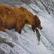 An Alaskan Coastal Brown Bear (What would be a bigger grizzly in the lower 48) snaps it's jaws shut on an unlucky salmon.