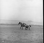 23/07/1964 Connemara Pony and Foal