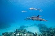 Hawaiian spinner dolphins or Gray's spinner dolphin<br /> Stenella longirostris longirostris, swim over coral reef<br /> Kona, Hawaii ( Big Island ) Hawaiian Islands<br /> ( Central Pacific Ocean )